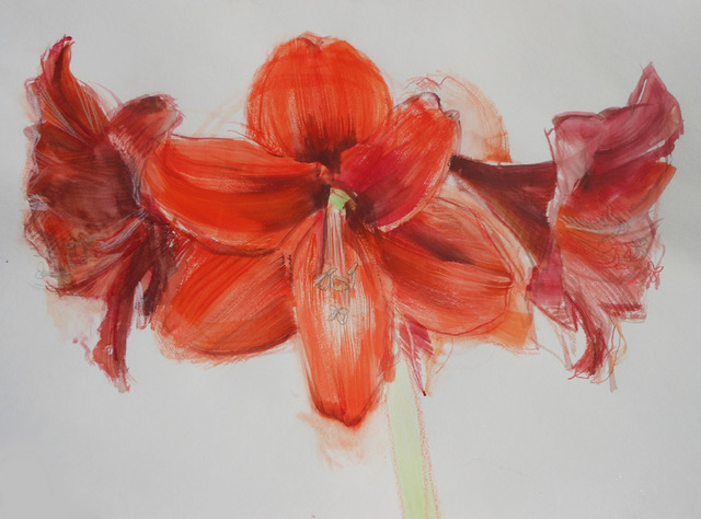 Image of Amaryllis blossoms